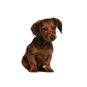 Pet City Pet Shops Dachshund