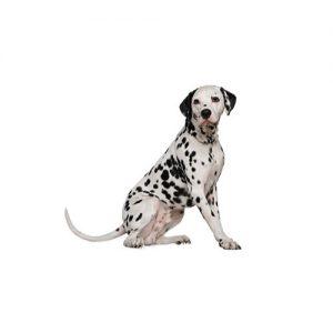 Pet City Pet Shops Dalmatian