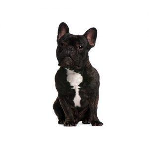 Pet City Pet Shops French Bulldog