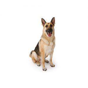 Pet City Pet Shops German Shepherd