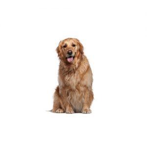 Pet City Pet Shops Golden Retriever