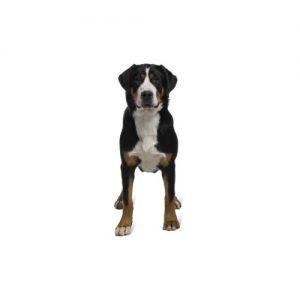Pet City Pet Shops Great Swiss Mountain Dog