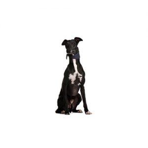 Pet City Pet Shops Greyhound