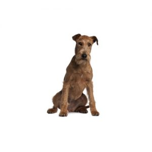 Pet City Pet Shops Irish Terrier