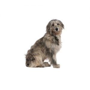 Pet City Pet Shops Irish Wolfhound