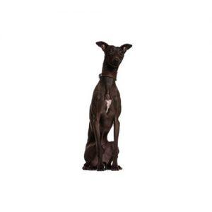 Pet City Pet Shops Italian Greyhound