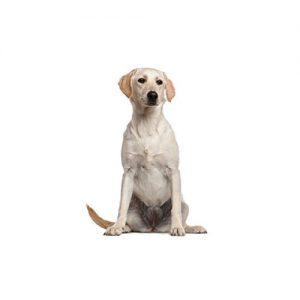 Pet City Pet Shops Labrador Retriever