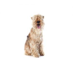 Pet City Pet Shops Lakeland Terrier
