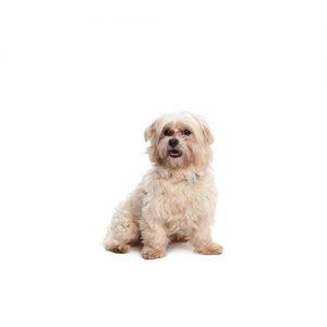 Pet City Pet Shops Malti-Chon