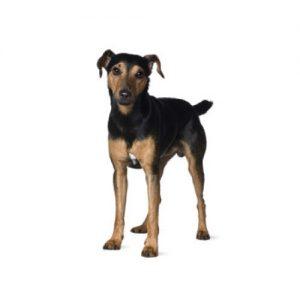 Pet City Pet Shops Manchester Terrier