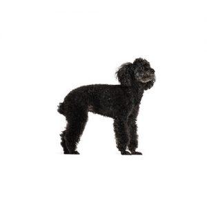 Pet City Pet Shops Miniature Poodle