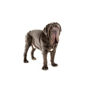 Pet City Pet Shops Neapolitan Mastiff