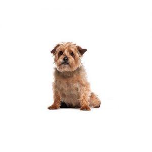 Pet City Pet Shops Norfolk Terrier