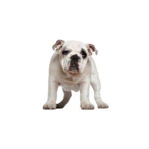Pet City Pet Shops Olde English Bulldogge