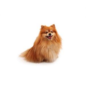 Pet City Pet Shops Pomeranian