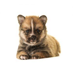 Pet City Pet Shops Pomsky