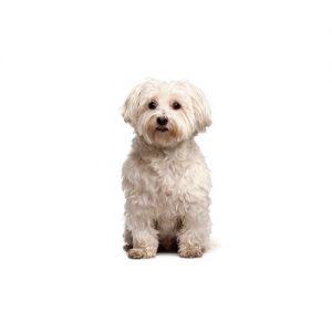 Pet City Pet Shops Poo-Chi