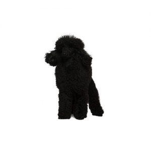 Pet City Pet Shops Poodle