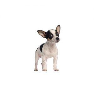 Pet City Pet Shops Rat Terrier