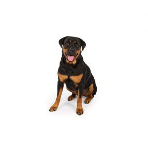 Pet City Pet Shops Rottweiler