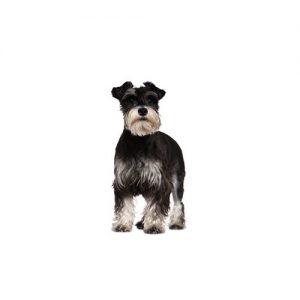 Pet City Pet Shops Standard Schnauzer