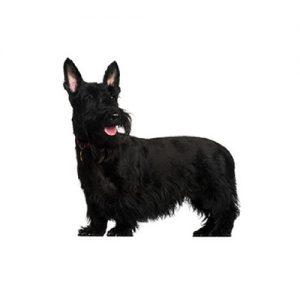 Pet City Pet Shops Scottish Terrier
