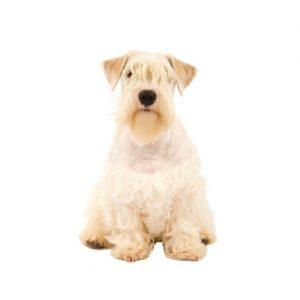 Pet City Pet Shops Sealyham Terrier