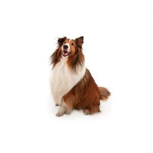 Pet City Pet Shops Shetland Sheepdog