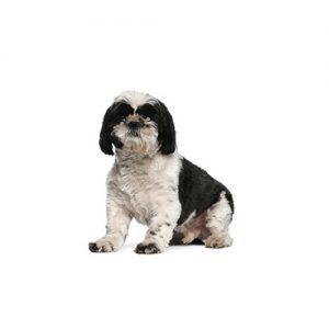 Pet City Pet Shops Shih Tzu
