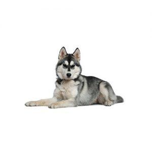 Pet City Pet Shops Siberian Husky