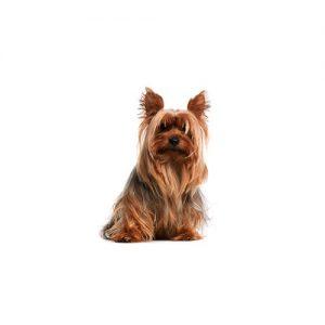 Pet City Pet Shops Silky Terrier
