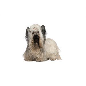 Pet City Pet Shops Skye Terrier