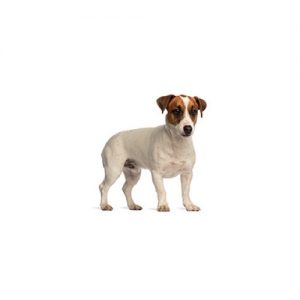 Pet City Pet Shops Smooth Fox Terrier