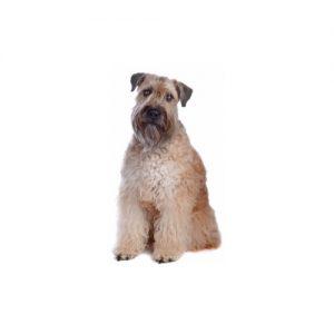 Pet City Pet Shops Soft Coated Wheaten Terrier
