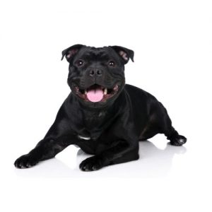 Pet City Pet Shops Staffordshire Bull Terrier