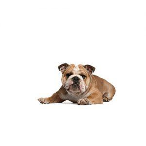 Pet City Pet Shops Victorian Bulldog
