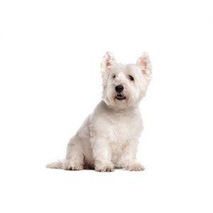 Pet City Pet Shops West Highland Terrier