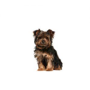 Pet City Pet Shops Yorkie-Chon