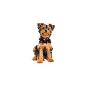 Pet City Pet Shops Yorkshire Terrier